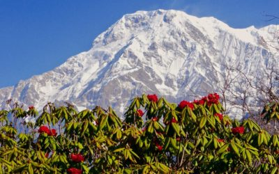 Nepal Trekking zur Rhododendronblüte