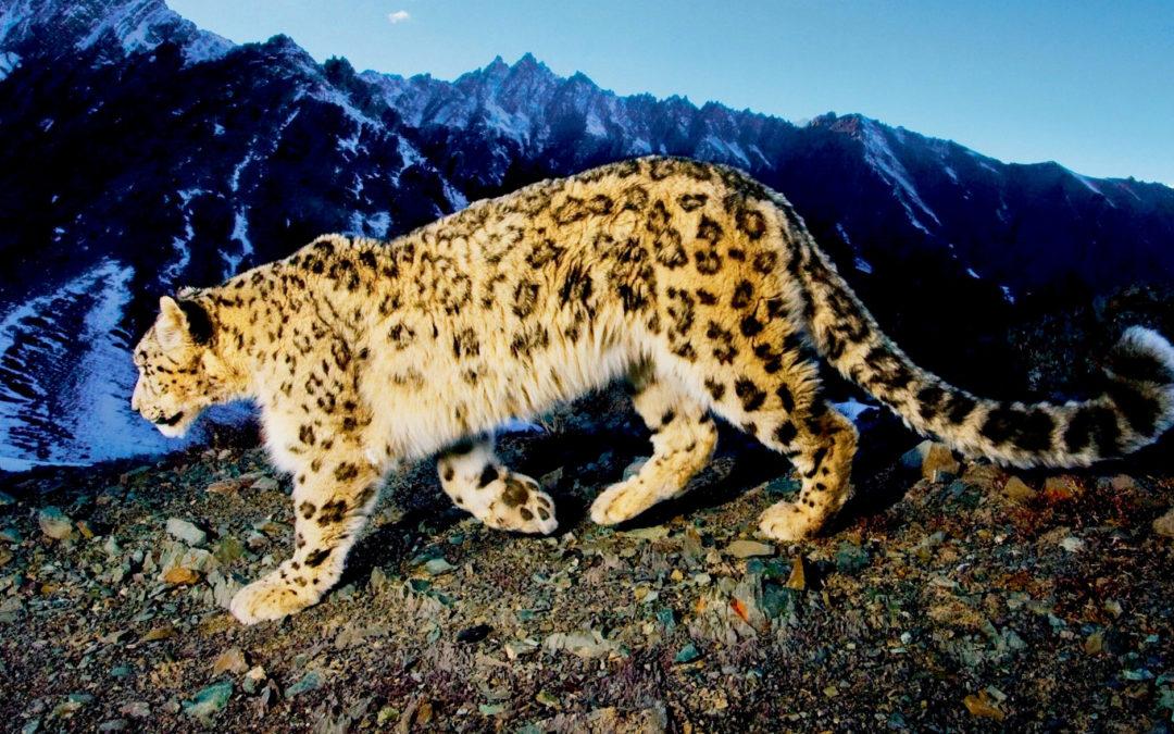 Snow Leopard Trail Der 1. Fair Trail im Himalaya